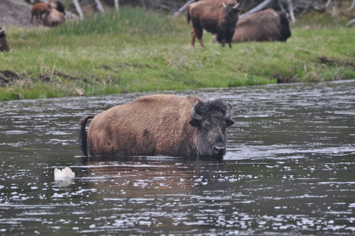 bison in river water