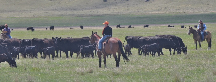 cattle herders on the job