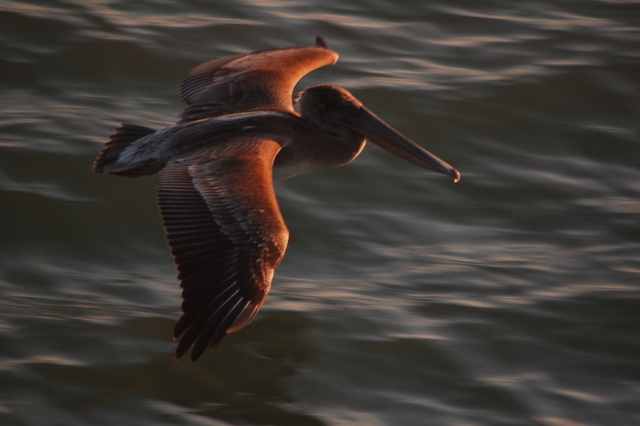pelican flying over waves, sunlit