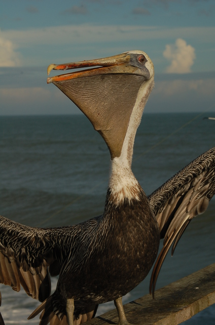 pelican with wings spread