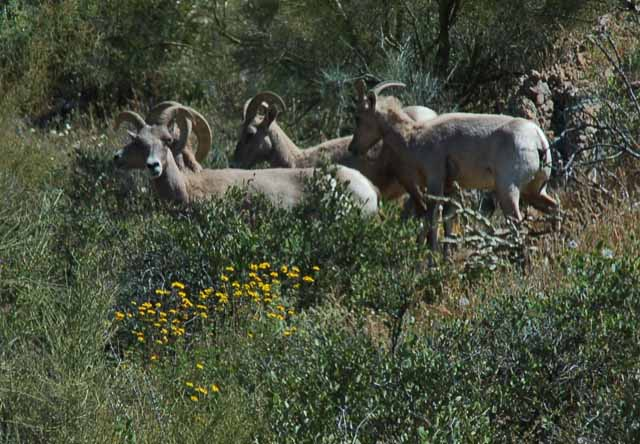 big horn sheep on the mountain
