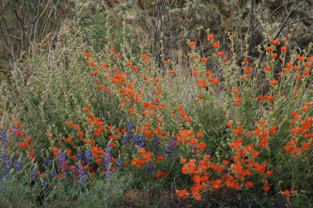 globe mallow off the road of Highway 60