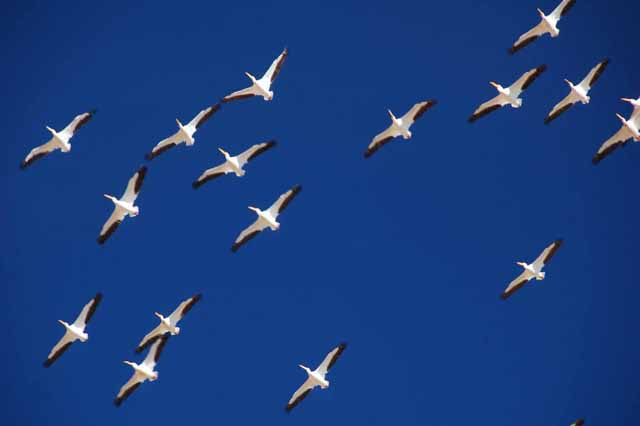 white pelicans pass overhead