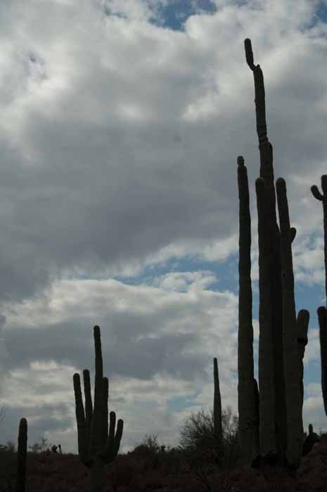 Tallest of Saguaros