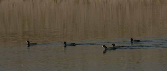 coots on Lake Pleasant