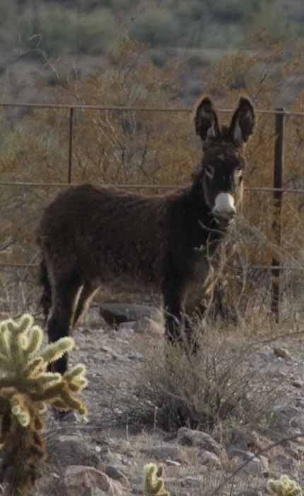a burro in Lake Pleasant Regional Park