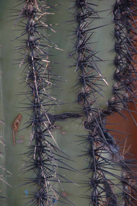 close up of a saguaro cactus