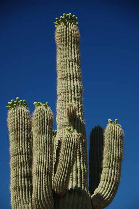 saguaros near bloomtime