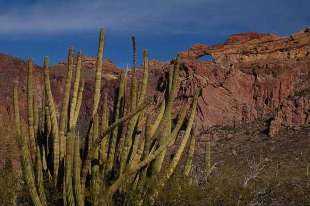 The Arch and an Organ Pipe Cactus