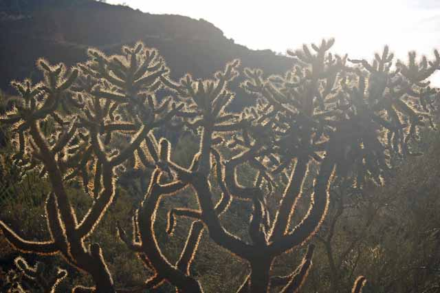 cholla silhouetted