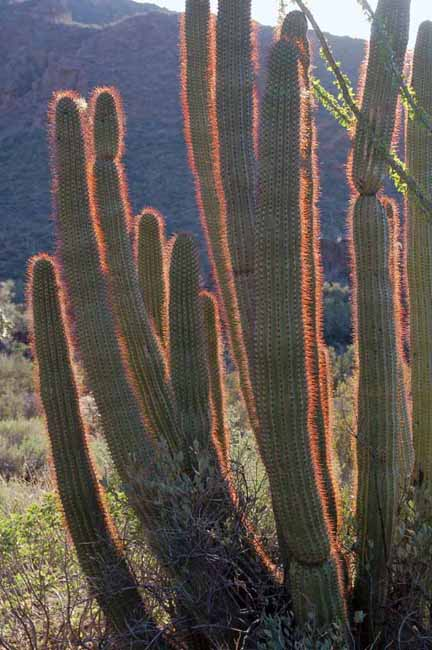 organ pipe cactus silhouetted