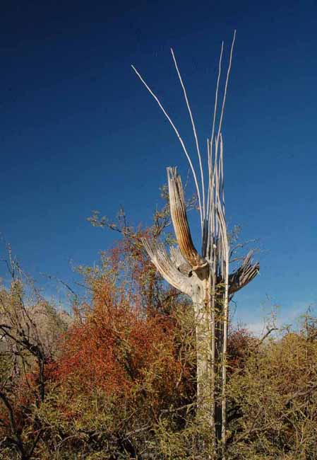 a Saguaro skeleton