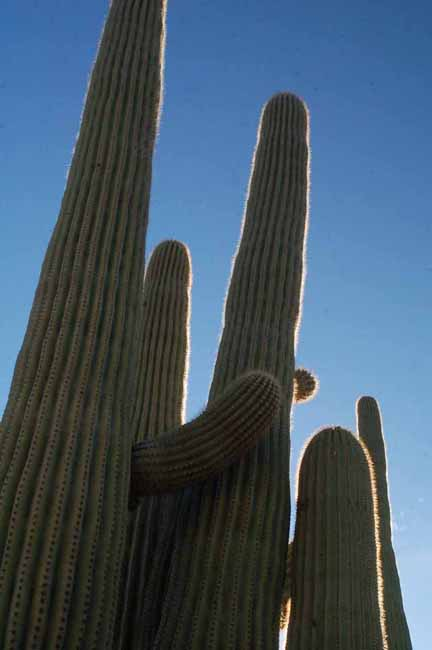 Saguaro Cactus in the Saguaro National Park, West
