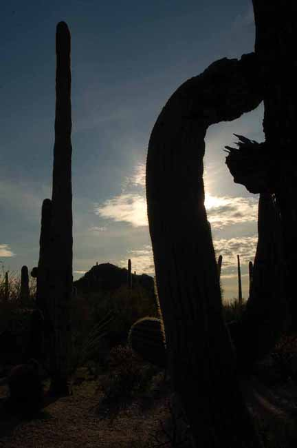 Saguaro cactus silhouetted against the setting sun