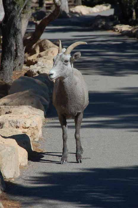 baby big horn sheep