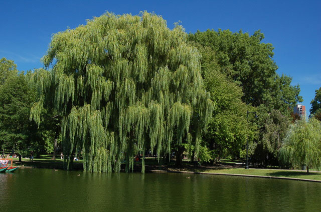 weeping willow at boston commons