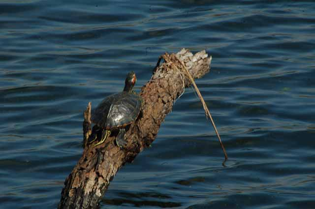 a turtle balances on a log in Elm Lake