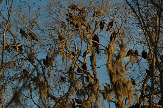 tree filled with turkey vultures