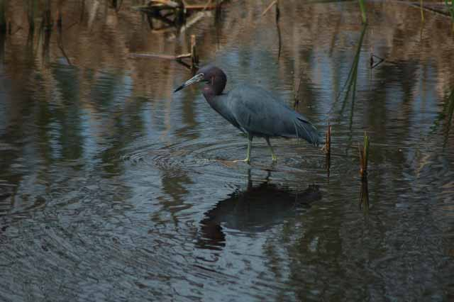 a little blue heron scouts for food