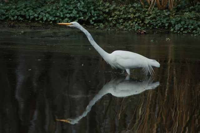an egret searches the water for food