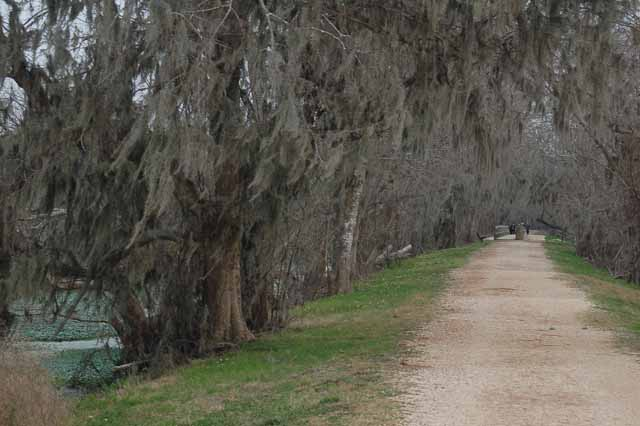 A moss-tree lined walking path