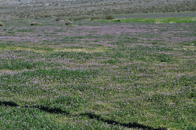 field of purple ground cover