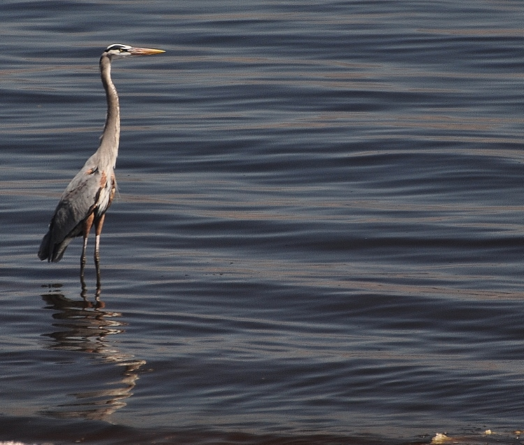 great blue heron on water's edge