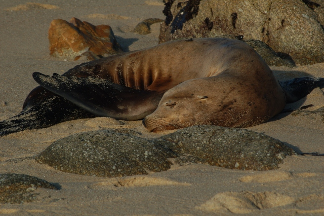 harbor seal, Pacific Grove