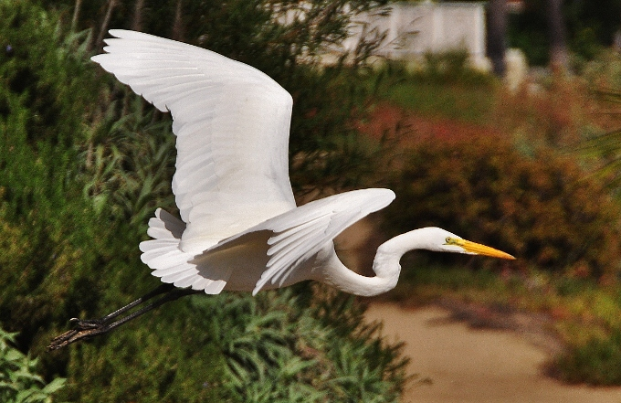 a great white heron in flight