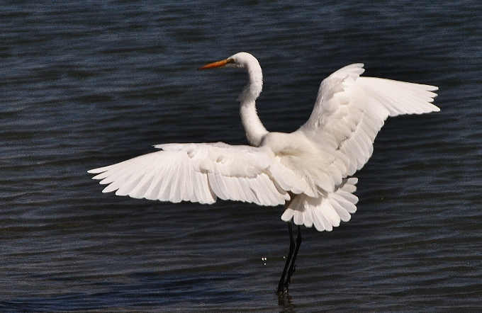 a white heron in flight