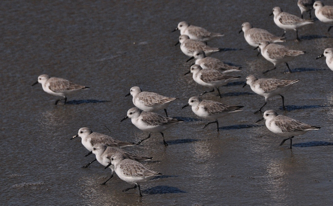 a flock of sandpipers