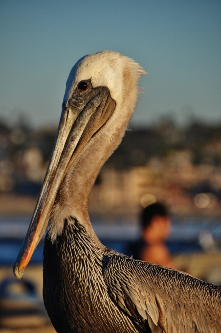 closeup of pelican