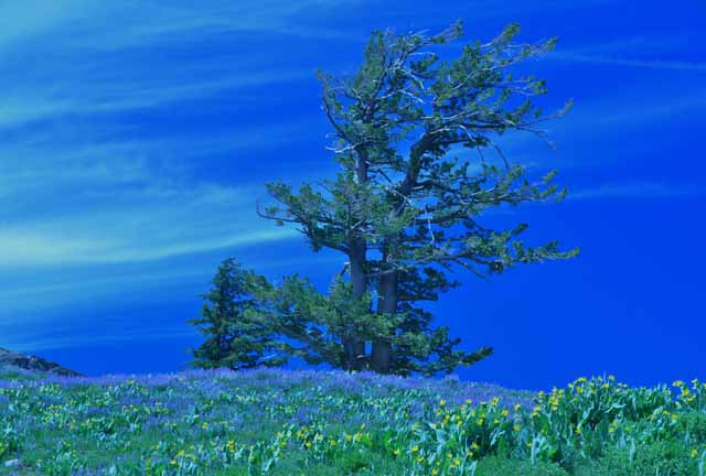 High Camp tree