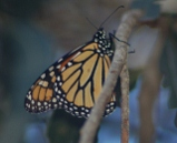 monarch butterfly, pismo beach