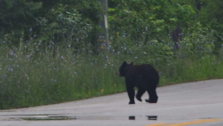 black bear crossing road