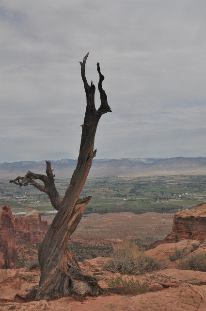 Utah Juniper tree trunk