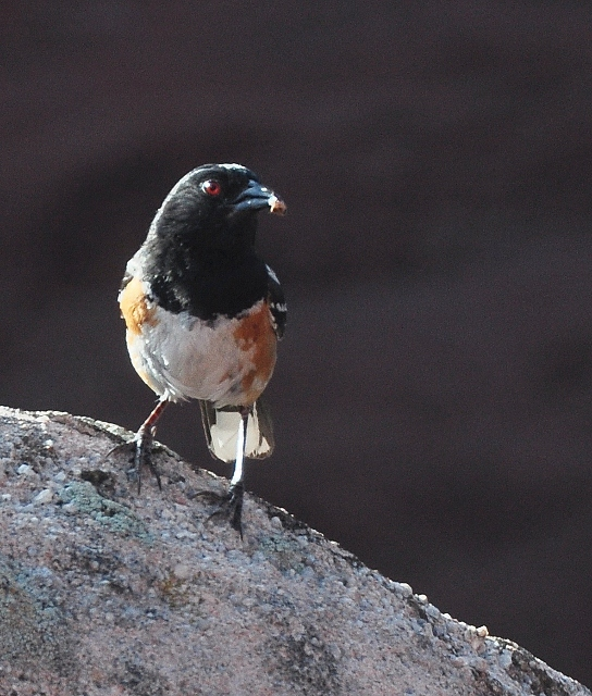a Spotted Towhee