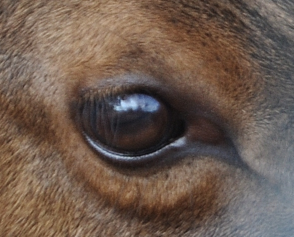 the eye of an elk
