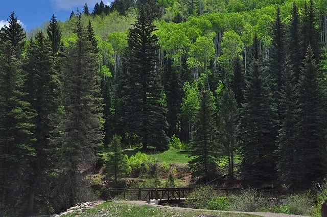 aspen trees stand