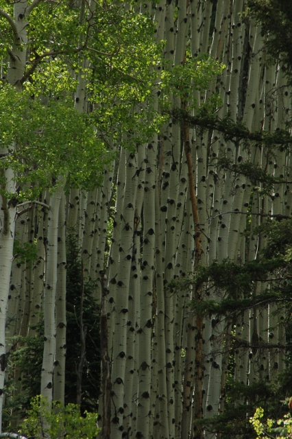 a stand of aspen trees
