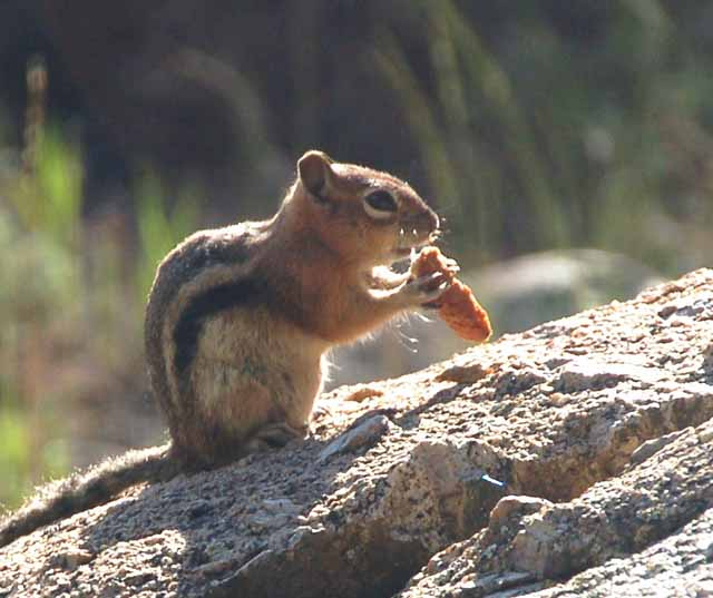 chipmunk at Lakeview Campground