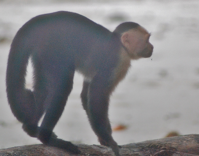 a white-faced capuchin