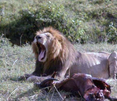 lion eating a hartabeest