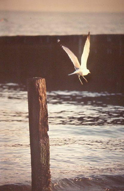 seagull flies from post