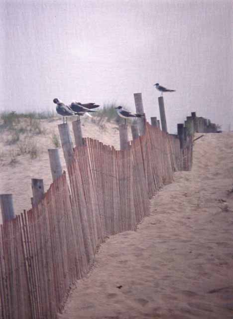 seagulls on fence, Outer Banks