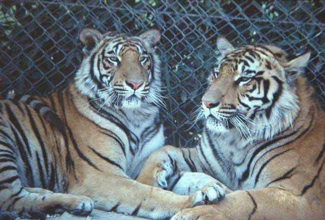 Tigers, two - zoo shot