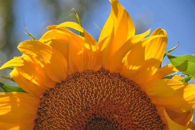 sunflower, Benecia