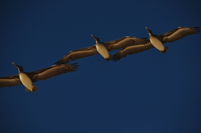 Pelicans fly over Marina Beach