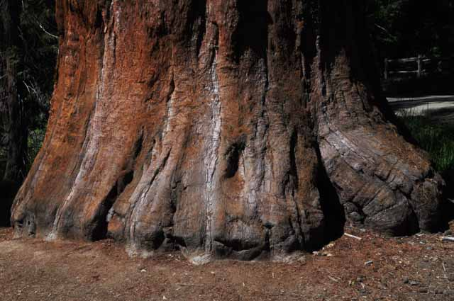 Sequoia tree trunk