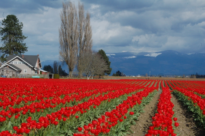 the red tulip fields of Skagit County, Washington